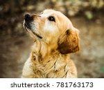 beautiful golden retriever... | Shutterstock . vector #781763173
