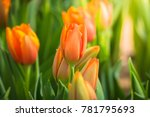 beautiful bouquet of tulips.... | Shutterstock . vector #781795693