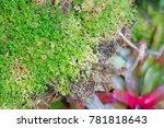 beautiful bonsai tree in the...   Shutterstock . vector #781818643