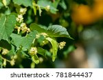 Small photo of Lime tree flowers. phony, faked, phoney