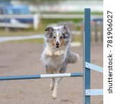 Small photo of Shetland Sheepdog jumps over an agility hurdle in agility competition