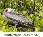 brown pelican  pelecanus...   Shutterstock . vector #781974787