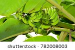 Small photo of Green Unripen Banana Bunch hanging on a Plantain Tree