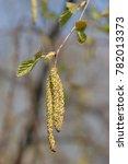 earrings on the birch   Shutterstock . vector #782013373