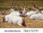 Small photo of A herd of addax, white antelopes on hay in nature