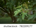 silver maple branch | Shutterstock . vector #782209177