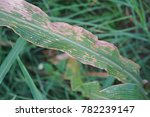 sweetcorn and maize disease ... | Shutterstock . vector #782239147