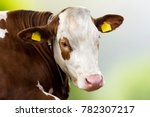 Animal Portrait Of Cow  Cattle...