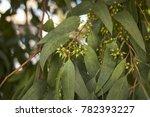 eucalyptus tree branch | Shutterstock . vector #782393227