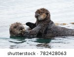 Sea Otter With A Baby