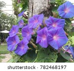 Purple Morning Glory With Wate...