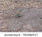 redbreast  erithacus rubecula ... | Shutterstock . vector #782486917