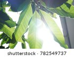Sunlight Canopy Through Leaves