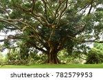 huge centennial tree at royal... | Shutterstock . vector #782579953