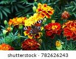 european peacock  aglais io ... | Shutterstock . vector #782626243