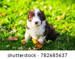 Small photo of a bearded collie puppy running around in the grass