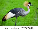 Crowned Crane On Green Grass