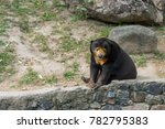 malayan sun bear  at an open... | Shutterstock . vector #782795383