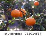 3 Oranges On The Tree