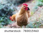 egg hen play on ground in farm | Shutterstock . vector #783015463