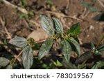 euphorbia hirta  garden spurge  ...   Shutterstock . vector #783019567
