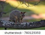 the common brushtail possum is... | Shutterstock . vector #783125353
