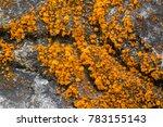 Small photo of Closeup yellow orange algae (green alga) growing on rocks at fraser's hill, Malaysia, Asia (Trentepohlia aurea)