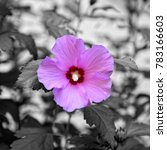 Small photo of Alcea rosea on gray background