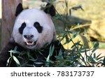giant panda facing camera | Shutterstock . vector #783173737