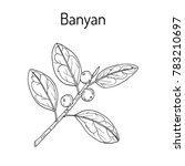 indian banyan  ficus... | Shutterstock .eps vector #783210697