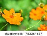'mexican aster'  cosmos...   Shutterstock . vector #783364687