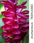 Small photo of Closeup of a pink Red Ginger (Alpinia purpurata) flower in the El Yunque National Forest / rainforest in Puerto Rico.