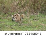 Small Serval Cat Hunting In Th...