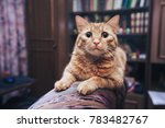domestic ginger cat at home | Shutterstock . vector #783482767