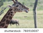 Giraffe Sticking It's Tongue...