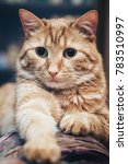 domestic ginger cat at home | Shutterstock . vector #783510997