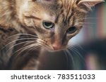 domestic ginger cat at home | Shutterstock . vector #783511033