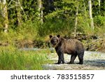 grizzly bear in the bella coola ... | Shutterstock . vector #783515857