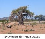 baobab tree africa | Shutterstock . vector #783520183