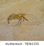 Small photo of Fossil of a prawn or shrimp. Aeger tipularius.