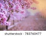 spring blossom orchard....   Shutterstock . vector #783760477