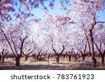 blooming almond trees at spring ... | Shutterstock . vector #783761923