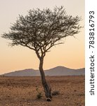 Small photo of Close up image of Umbrella Thorn Acacia tree (Vachellia Tortilis) taken outdoors at sunset with blurred mountains in the background