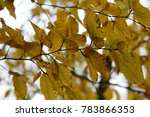 Last Yellow Leaves In Winter ...