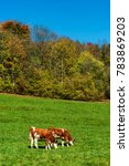 Small photo of Brown rufous carroty cows on green grass pasturage, sunny autumn day, Switzerland