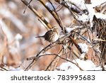 Sparrow In The Brush