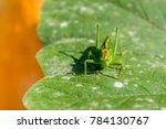 Small photo of Great green bush cricket sitting on pumpkin leaf. Big grasshopper tettigonia cantans