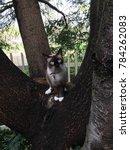 Stock photo siamese snowshoe kitten in tree 784262083