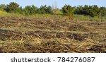 burn sugar cane plantation | Shutterstock . vector #784276087