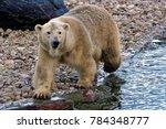 the polar bear  ursus maritimus ...   Shutterstock . vector #784348777